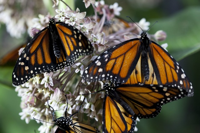 Group of monarch butterflies nectaring on Asclepias