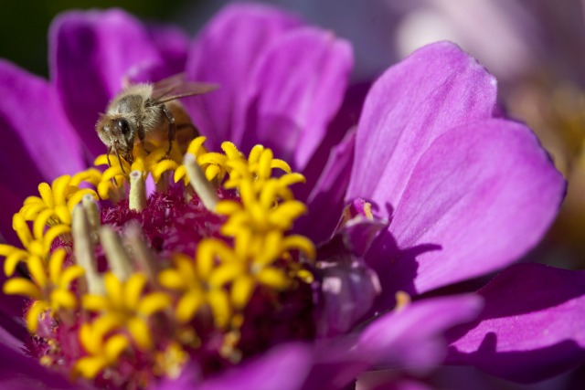 Honey bee worker nectaring on Zinnia