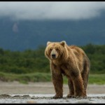 A New True Life Adventure in Disneynature's Bears