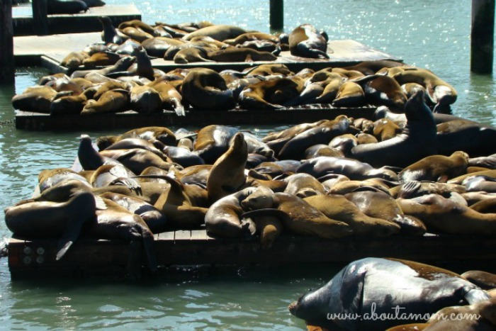 Things to do in San Francisco if you have limited time. Sea Lions at Fisherman's Wharf.